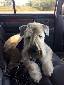 Kondi on the way home from the groomer, 2016